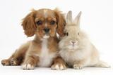 Cavalier King Charles Spaniel Puppy  Star  with Sandy Rabbit