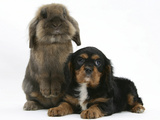 Black-And-Tan Cavalier King Charles Spaniel Puppy and Lionhead Rabbit