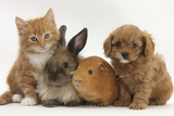 Cavapoo (Cavalier King Charles Spaniel X Poodle) Puppy with Rabbit, Guinea Pig and Ginger Kitten Papier Photo par Mark Taylor