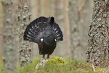 Capercaillie (Tetrao Urogallus) Adult Male Displaying Cairngorms Np  Scotland  February