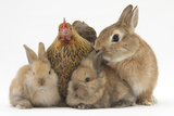 Partridge Pekin Bantam with Sandy Netherland Dwarf-Cross Rabbit  and Baby Lionhead Cross Rabbits