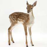 Fallow Deer (Dama Dama) Portrait of Fawn Standing