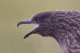 Great Skua (Stercorarius Skua)  Shetland Isles  Scotland  UK  July