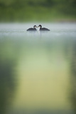 Two Young Coots (Fulica Atra) on a Still Lake at Dawn  Derbyshire  England  UK  June 2010