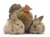 Partridge Pekin Bantam and Baby Lionhead Cross Rabbits