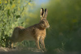 European Brown Hare (Lepus Europaeus) Stretching on Field Hope Farm Rspb  Cambridgeshire  UK