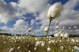 Harestail Cotton-Grass (Eriophorum Vaginatum) Growing on Bog Moorland  Scotland  UK  May