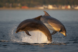 Bottlenose Dolphin (Tursiops Truncatus) Two Breaching in Evening Light  Moray Firth  Scotland  UK