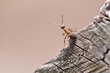 Wood Ant (Formica Rufa) Arne Rspb Reserve  Dorset  England  UK  July