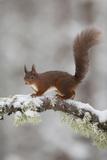Red Squirrel (Sciurus Vulgaris) on Snowy Branch in Forest, Cairngorms Np, Scotland, UK, December Papier Photo par Peter Cairns