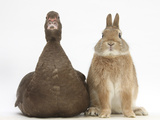 Chocolate Muscovy Duck and Netherland Dwarf-Cross Rabbit