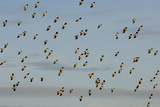 Flock of Lapwing (Vanellus Vanellus) in Flight  Turning Together in Evening Light  Norfolk  UK