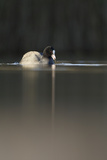 Coot (Fulica Atra) on Water in Evening Light  Fife  Scotland  UK  November
