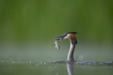 Great Crested Grebe (Podiceps Cristatus) Adult with Fish Prey  Derbyshire  UK  June
