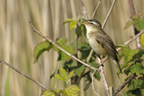 Sedge Warbler (Acrocephalus Schoenobaenus) Adult Perched  Singing  Norfolk  UK  May