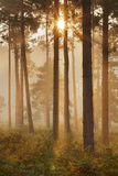 Sunrise in Coniferous Woodland Gore Heath  Dorset  England  UK  September