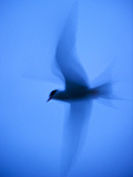Arctic Tern (Sterna Paradisaea) in Flight Using Slow Shutter Speed  Farne  Northumberland  UK