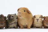 Mother Guinea Pig and Four Baby Guinea Pigs  Each a Different Colour