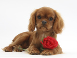 Ruby Cavalier King Charles Spaniel Pup  Flame  12 Weeks Old  with a Red Rose