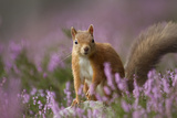 Red Squirrel (Sciurus Vulgaris) in Flowering Heather Inshriach Forest  Scotland  UK  September