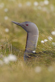 Red-Throated Diver (Gavia Stellata) on Nest in Cotton Grass  Flow Country  Highland  Scotland  June