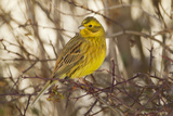 Yellowhammer (Emberiza Citrinella) Male Perched Scotland  UK  December