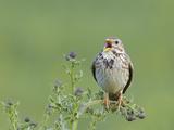 Corn Bunting (Miliaria Calandra) Singing  Formby  Lancashire  England  UK  June