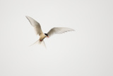 Arctic Tern (Sterna Paradisaea) in Flight Shetland  Scotland  August
