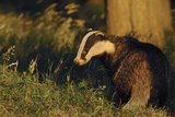 Badger (Meles Meles) Sub-Adult Beside Tree  Derbyshire  UK