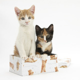 Ginger-And-White and Tortoiseshell Kittens in a Birthday Box