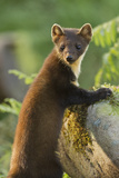 Pine Marten Juvenile in Woodland  Beinn Eighe National Nature Reserve  Wester Ross  Scotland  July