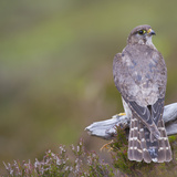 Merlin (Falco Columbarius) Female on Perch with Meadow Pipit Chick Prey  Sutherland  Scotland  UK