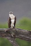 Osprey (Pandion Haliaetus) on Branch  Holding Stick  Cairngorms Np  Scotland  UK  July
