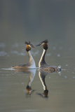 Great Crested Grebe (Podiceps Cristatus) Pair During Courtship Ritual  Derbyshire  UK  March