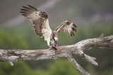 Osprey (Pandion Haliaetus) Eating Fish Prey  Cairngorms National Park  Scotland  UK  July