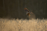 Marsh Harrier (Circus Aeruginosus) Female Landing in Reedbeds  Backlit  Norfolk  UK  April