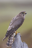 Merlin Female on Perch with Meadow Pipit Chick Prey for its Offspring Sutherland  Scotland  June