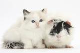 Ragdoll-Cross Kitten with Black-And-White Guinea Pig