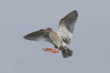 Redshank (Tringa Totanus) in Flight  Outer Hebrides  Scotland  UK  June
