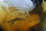 Brown Trout (Salmo Trutta) in Turbulent Water at a Weir  River Ettick  Selkirkshire  Scotland  UK