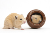 Two Golden Hamsters Playing with a China Pot