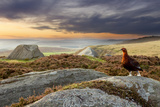 Red Grouse (Lagopus Lagopus Scoticus) on Heather Moorland  Peak District Np  UK  September