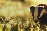 Badger (Meles Meles) Sub-Adult Backlit in Evening Light  Derbyshire  UK