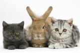 Grey Kitten and Silver Tabby Kitten with Sandy Lionhead-Cross Rabbit