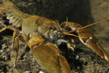 White Clawed Crayfish (Austropotamobius Pallipes) on River Bed, Viewed Underwater, River Leith, UK Papier Photo par Linda Pitkin