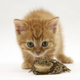 Ginger Tabby Kitten Looking at Common European Toad (Bufo Bufo) Papier Photo par Mark Taylor