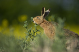 European Brown Hare (Lepus Europaeus) Feeding on Fringes of Rapeseed Field  Cambridgeshire  UK