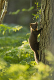 Pine Marten Juvenile  Climbing Pine Tree in Woodland  Beinn Eighe Nnr  Wester Ross  Scotland  UK