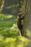 Pine Marten Juvenile  Climbing Pine Tree in Woodland  Beinn Eighe Nnr  Wester Ross  Scotland  UK