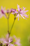 Ragged Robin {Silene Flos-Cuculi} Devon  UK  June
